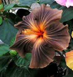 Black Hibiscus Flower | darker hibiscus black jack black jack blooms with 6 7 brown flowers ...