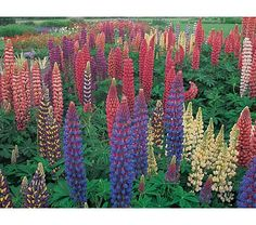 hybrid lupines. Full sun- blooms june-july. Deer resistant? self-sowing. hillside and driveway border, 30""