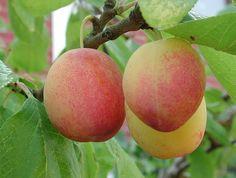 Plantera fruktträd! Plommonskörd från eget träd är ljuvligt! Foto: Sylvia Svensson