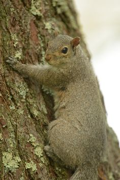 Worried squirrel by Vox Sciurorum on Flickr