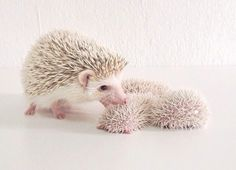 Sarah hedgehog and her babies