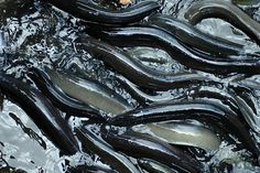 The eels found inside Emilia Stevenson's stomach, which triggers C-team's new Research Project.