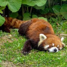 Red Panda Cute, Panda Love, Cute Little Animals, Cute Funny Animals, Pandas Baby, Photo Panda, Animal Facts, Tier Fotos, Cute Creatures