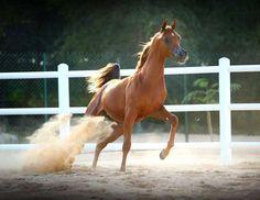 AJ Marzan (AJ Portofino x Hed Hab Maria) 2013 chestnut stallion bred by Ajman Stud