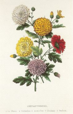 Vintage Botanical Book Plate of Chrysanthemums by GalleryBotanica