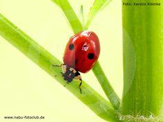 Glücksbringer und eifrige Blattlausjäger - Marienkäfer bereichern jeden Garten - https://www.nabu.de/tiere-und-pflanzen/insekten-und-spinnen/kaefer/02908.html