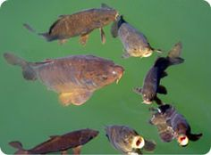 Types/Species of Carp