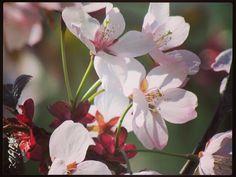 #kirsikkapuu #kirsikkaturku #さくら#桜 #花 #春 #トゥルク#フィンランド #kissmyturku #turku #suomi #TKU by valv41