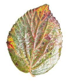Botanical Art - Holiday Sketching: Rory McEwen Botanical Artist - Love this leaf!