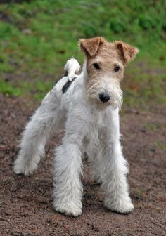 Obedience Training for Dogs – Helping Puppies Terrier Airedale, Perro Fox Terrier, Wirehaired Fox Terrier, Irish Terrier, Terrier Breeds, Wire Fox Terrier, Pitbull Terrier, Dog Breeds, Happy Animals