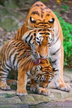 Tiger and cub I love big cats Beautiful Cats, Animals Beautiful, Cute Baby Animals, Animals And Pets, Wild Animals, Big Cats, Cats And Kittens, Siamese Cats, Gato Grande