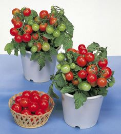 Red Cherry Tomato Seeds - 20 Seeds - Vegetable Seeds