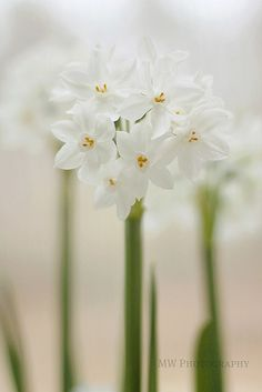 Lovely, perennially dependable narcissus does the double duty of Moon light reflective white and a luscious scent.