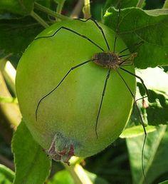 Monster Harvestman spider.  7th July 2013