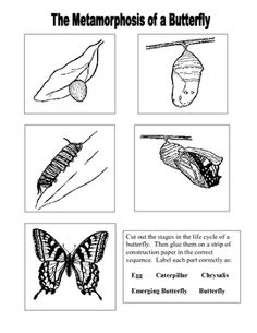 Color, cut, and paste this sequencing worksheet. Use after teaching the life cycle of a butterfly....