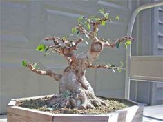 The art of bonsai trees can be a very rewarding experience, and a thick trunk completes the look of your bonsai. lets look at how to get a larger trunk in your bonsai tree, since you cant just buy it.