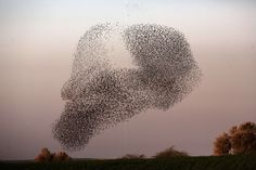 A flock of starlings flock together before landing to sleep during the sunset near the southern Arab Israeli city of Rahat, in the northern Israeli Negev desert, on February 2, 2015.