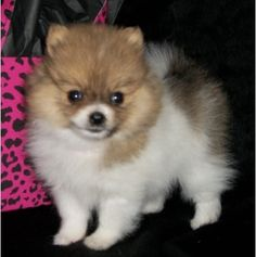 393 Best Pomeranians Rust Or Brown Black Or White They Are All