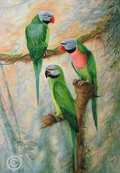 Parrots and Pigeons - paintings of pigeons