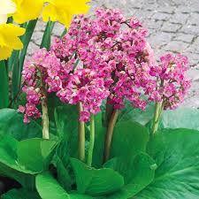 Resultado de imagen de how to care for bergenia cordifolia