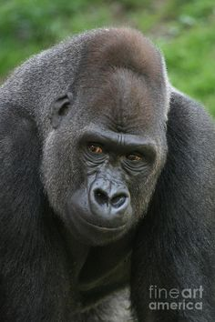 philly zoo lowland gurilla | Western Lowland Gorilla Photograph - Western Lowland Gorilla Fine Art ...