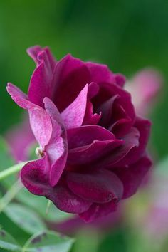 ~~ Rose 'Burgandy Ice' ~~
