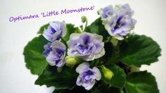 African Violet 'Little Moonstone'