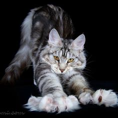 Maine Coon stretttttcchhh!❤ Awesome portraits of Maine Coon cats.