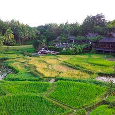 Arrozal no Four Seasons @Four Seasons Resort Chiang Mai #QueensberryViagens #ChiangMai #FSChiangMai