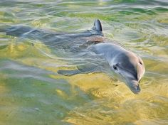 Every evening, the local pods of wild bottlenose dolphins swim into the shallows near the Tangalooma Island Resort for a traditional evening snack of fresh fish, making Moreton Island one of the few places in the world were visitors can safely—and legally—have a guaranteed moment with Flipper.