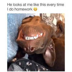 Dog Breeds Little .Dog Breeds Little Funny Animal Jokes, Funny Dog Memes, Really Funny Memes, Funny Animal Videos, Funny Animal Pictures, Animal Memes, Vizsla Funny, Animal Humor, Cute Funny Dogs