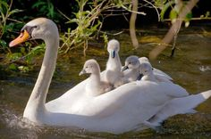Baby Swans On Mothers Back Baby swan and mother 14250436 Cute Baby Animals, Animals And Pets, Funny Animals, Beautiful Birds, Animals Beautiful, Majestic Animals, Baby Swan, Hope Is The Thing With Feathers, Swans