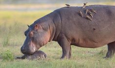Heartbreaking moment a mother hippo realises her baby is dead ...