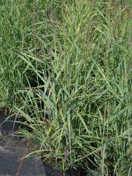 Ruten-Hirse 'Shenandoah' - Panicum virgatum 'Shenandoah' Passt zur Anemone im Kübel und ist winterhart