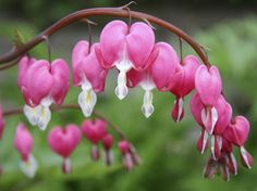 My great grandmother used to grow these in her garden in the 20's & 30's...Bleeding hearts - beautiful as well as useful...