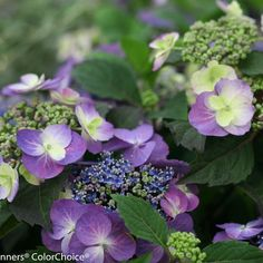 Tuff Stuff™ - Reblooming Mountain Hydrangea - Hydrangea serrata