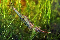 Caridina gracilirostris, pinnochio shrimp