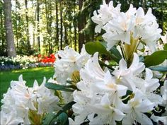 Richard Clayderman playlist 184 ♥ - YouTube White Azalea, Picture Fails, Beautiful Songs, Spring Flowers, Country Music, Floral, Pretty, Nature, Plants