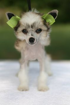 I'm glad I got to miss the taping of Ella's ears. I think I would feel too bad to see her like that. Chinese Crested Hairless, Chinese Crested Powder Puff, Dog Photography, Dog Grooming, All Dogs, Dogs And Puppies, Chai, Mans Best Friend, Crests