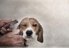 Beagle getting a bath