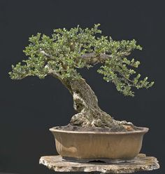 Walter Pall Bonsai Adventures: new pot for olive Tree Quotes, Wild Olive, Bonsai Styles, Garden Quotes, Greenhouse Gardening, Olive Tree, Small Trees, Ikebana, Amazing Gardens