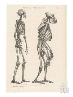 human skeleton vs. gorilla skeleton | nature | pinterest | human, Skeleton
