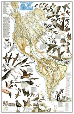 National Geographic RE01020306 Map Of Bird Migration - Western Hemisphere - Laminated