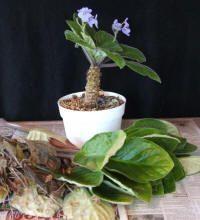 African violets: Restoring or Restarting - Violet Barn Outdoor Plants, Garden Plants, Indoor Herbs, Roses Garden, Plants Indoor, Fruit Garden, Air Plants, Cactus Plants, Container Plants