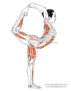 image of some of the anterior hip and thigh muscles of the