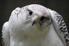 gorgeous Gyrfalcon.  by *Evey-Eyes  Photography / Animals, Plants & Nature / Birds	©2012-2013 *Evey-Eyes  Picture of gyrfalcon.       via Linda Rommelaere