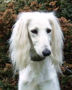 best pictures and photos ideas about saluki dog - oldest dog breeds