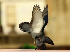 Blue Rock Pigeon-Bird Images,Shot with canon 7D mark     and Lens Canon EF 100-400 mm f/4.5-5.6 IS USM Photographer- Mukesh Garg (Bird and Wildlife Photographer)