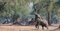 Mana Pools by Richard Coke Travel Companies, African Safari, Zimbabwe, Fauna, Pools, Camel, Photo Galleries, Pta, Elephants