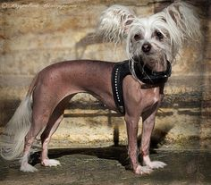 these dogs are so cute and so comfy in their hairless bodies...  they need clothing in cold weather for sure.. i luv them